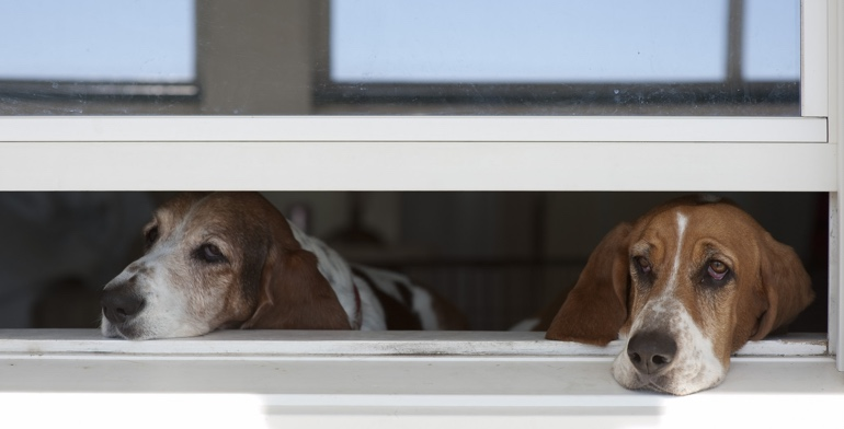 Dogs look out open window without window treatment in St. George.